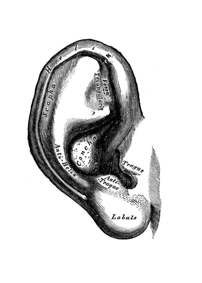Grays ear