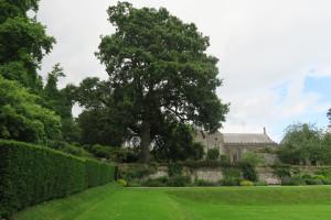Lucombe oak1