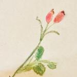 rosehip 1